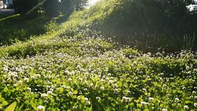 Stock footage of a clover field with sun flare stock video footage