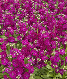 Stock  'Hot Cakes Mix'  (Matthiola incana) Stock Photos
