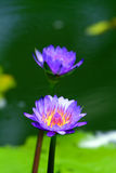 Stock image of Blossom lotus flower in Japanese pond Stock Photos