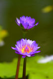 Stock image of Blossom lotus flower in Japanese pond royalty free stock photos