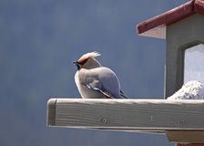 Stock image of bohemian waxwing on feeder Stock Image