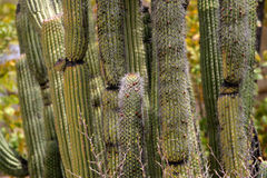 Stock image of cactus at the Saguaro National Park, USA. Stock image of Saguaro National Park, USA royalty free stock images