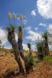 Stock image of cactus at the Saguaro National Park, USA. Stock image of Saguaro National Park, USA stock photography