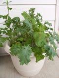 Stock image of Garden Herbs. Home grown salad mix in pot stock photo