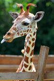 Stock image of a Giraffe at a zoo Stock Photography