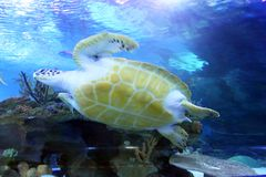 Stock image of Green Sea Turtle swimming Royalty Free Stock Image