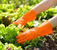 Stock image of a hands in the garden Stock Images