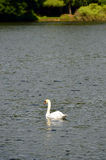 Stock image of Lake with a white swan Royalty Free Stock Photos