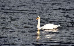 Stock image of Lake with a white swan Royalty Free Stock Images