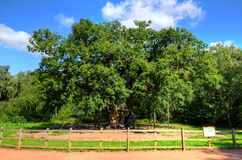 Stock image of Major Oak, Sherwood Forest, Nottinghamshire Stock Photography
