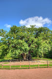Stock image of Major Oak, Sherwood Forest, Nottinghamshire Stock Photo