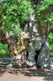Stock image of Major Oak, Sherwood Forest, Nottinghamshire.  Royalty Free Stock Image