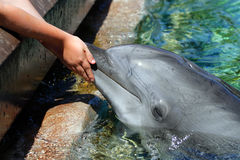 Stock Image Of Dolphin At The San Diego Seaworld Royalty Free Stock Photos