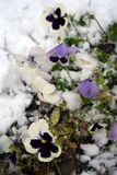 Stock image of Pansies Under Snow. The Pansy or Pansy Violet is a cultivated garden flower. It is derived from the wildflower called the Heartsease or Johnny royalty free stock photography