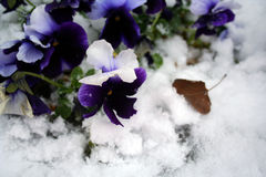 Stock image of Pansies Under Snow Royalty Free Stock Photo