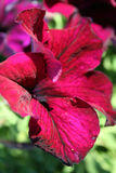 Stock image of Petunia Stock Photo