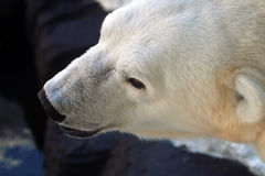 Stock image of polar bear Royalty Free Stock Photos