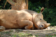 Stock image of Rhino / rhinoceros.  royalty free stock photography