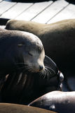 Stock image of Sea lions at Pier 39, San Francisco, USA Royalty Free Stock Photos