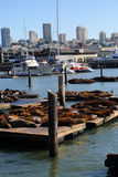 Stock image of Sea lions at Pier 39, San Francisco, USA Royalty Free Stock Photos