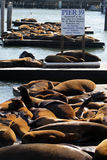 Stock image of Sea lions at Pier 39, San Francisco, USA Royalty Free Stock Photography