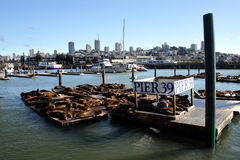 Stock image of Sea lions at Pier 39, San Francisco, USA Stock Photos