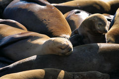 Stock image of Sea lions at Pier 39, San Francisco, USA Stock Photo