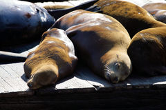 Stock image of Sea lions at Pier 39, San Francisco, USA Royalty Free Stock Images
