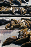 Stock image of Sea lions at Pier 39, San Francisco, USA Royalty Free Stock Image