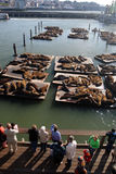Stock image of Sea lions at Pier 39, San Francisco, USA Royalty Free Stock Photo