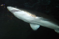 Stock image of a Tiger Shark (Galeocerdo cuvier) Royalty Free Stock Photography