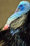 Stock image of Wild Turkey (Meleagris gallopavo). Stock image of a Wild Turkey (Meleagris gallopavo Stock Photo