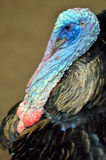 Stock image of Wild Turkey (Meleagris gallopavo).  Stock Image