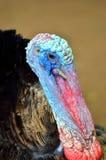 Stock image of Wild Turkey (Meleagris gallopavo).  Royalty Free Stock Image