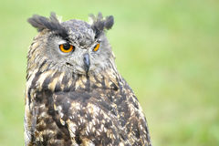 Stock owl 1 Stock Photography