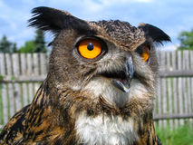Stock owl. Owl and his orange eyes Stock Photography