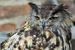 Stock owl (bubo bubo) Royalty Free Stock Image