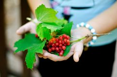 Ash-berry in woman`s hands stock photos