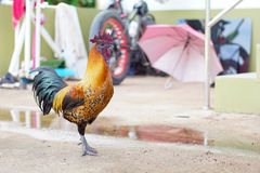 Stock Photo - Black dark cock. Selective focus Royalty Free Stock Photography