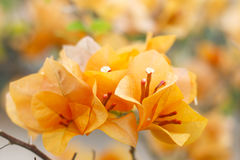 Stock Photo:blooming bougainvilleas Stock Image