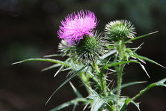 Stock photo of blooming thistle. Blooming thistle on the dark background stock photography Royalty Free Stock Image