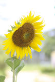Stock Photo:Bright yellow sunflowers and sun Stock Photography