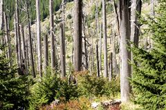 Stock Photo of Burned Trees,  Mount St. Helens Stock Photo