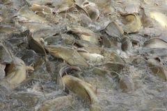 Stock Photo:Catfish feeding Royalty Free Stock Image