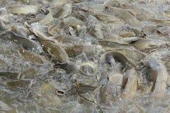Stock Photo:Catfish feeding Stock Image
