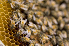 Stock Photo:Close up of bees in a beehive on honeycomb Stock Image