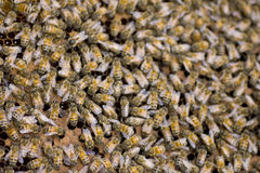 Stock Photo:Close up of bees in a beehive on honeycomb Stock Images