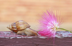 Stock Photo: Close up of snail on Pink powder puff flower in ga Stock Photo