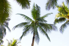 Stock Photo:Coconut palm trees perspective view Royalty Free Stock Photos