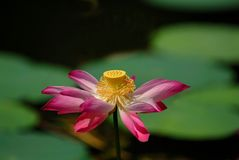 Stock photo of colorful waterlily. A water lily flower is wildly grown in tropical countries. Generally the flowers come in various colors such as pink, white royalty free stock photography